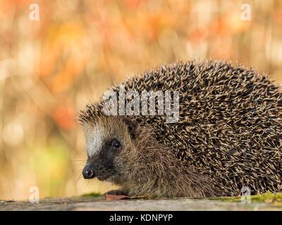 European hedgehog, Erinaceus europaeus in colorful autumn leaves looking in camera - Stock Photo