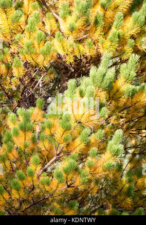 Fir tree in autumn colours showing bright yellow and green as the later afternoon sun light hits the tree at the - Stock Photo