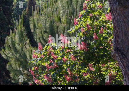 Red horse-chestnut tree in park. Briotii aesculus plant - Stock Photo
