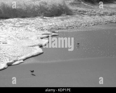 Sandpipers at the Jersey shore, NJ running along sand in early morning. - Stock Photo