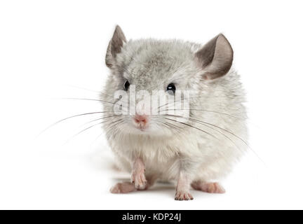 White chinchilla, isolated on white - Stock Photo