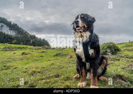 Beautiful Male Bernese Mountain Dog in the Appenzell region of Swiss Alps - Stock Photo
