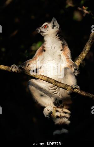 A ring-tailed lemur (Lemur catta) sitting in a tree, Madagascar - Stock Photo