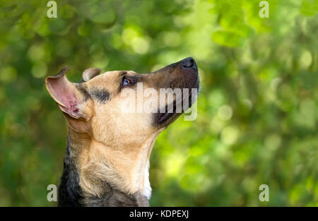 Curious dog looking up is an eager curious excited dog looking up in anticipation of something. - Stock Photo