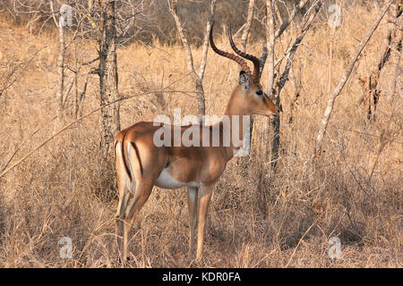Male Impala in the Kruger National Park, South Africa - Stock Photo