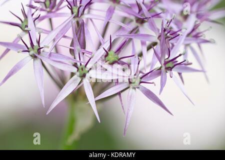 Allium cristophii - star of Persia bulbs ( Allium christophii ) - Stock Photo
