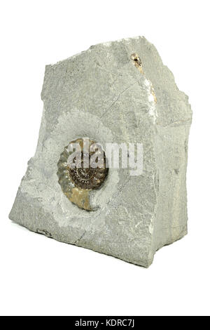 fossil Promicroceras sp. Ammonite from Charmouth/ Dorset, England - Stock Photo