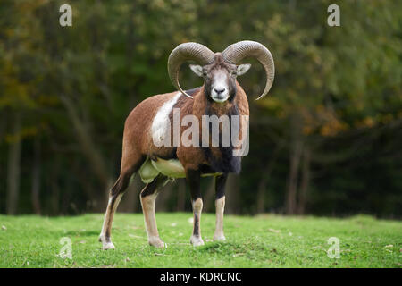 Big european moufflon in the nature habitat - Stock Photo