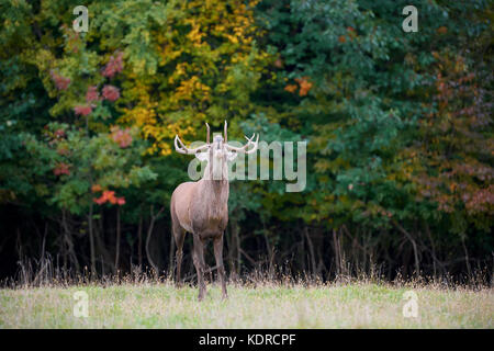 Portrait of majestic powerful adult red deer stag in the natural environment - Stock Photo