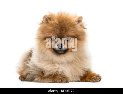 Pomeranian puppy lying, isolated on white - Stock Photo