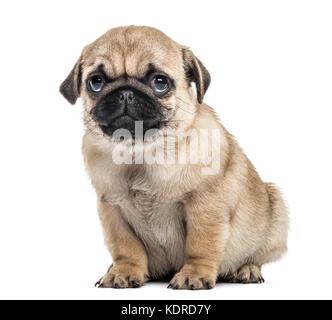 Pug puppy sitting, isolated on white - Stock Photo