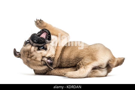 Pug puppy playing, isolated on white - Stock Photo