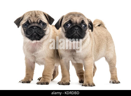 Pug puppies side by side, isolated on white - Stock Photo