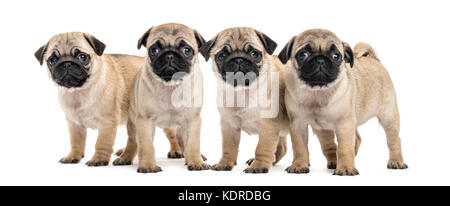 Four pug puppies, isolated on white - Stock Photo