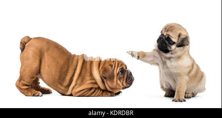 Pug and english bulldog puppies playing, isolated on white - Stock Photo