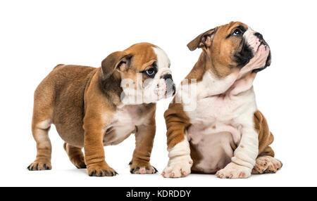 English bulldog puppies cuddling, isolated on white - Stock Photo