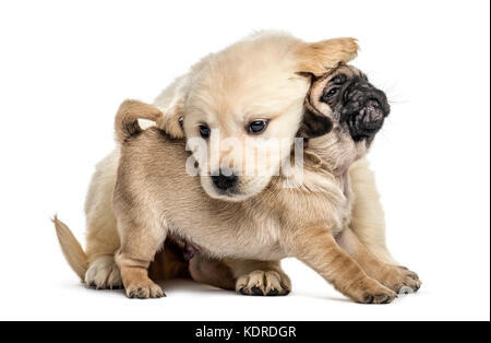 Retriever and pug puppies playing together, isolated on white - Stock Photo