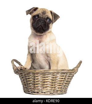 Pug sitting in a wicker basket, isolated on white - Stock Photo
