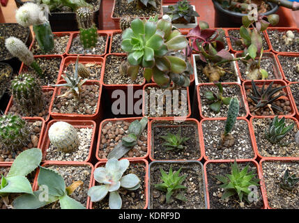 """Potted cactuses. Cactus exhibition at """"House of nature"""", Kyiv, Ukraine. May 27, 2017. - Stock Photo"""