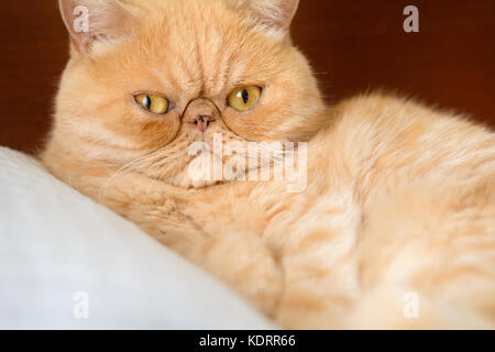 Ginger exotic persian cat portrait. Closeup view, horizontal - Stock Photo
