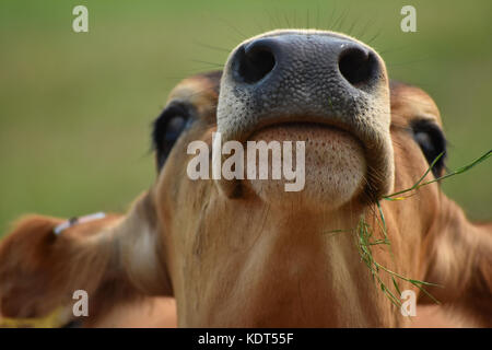 Cow eating grass with head in the air showing its nostrils and mouth closeup.  The cows head is tilted upward. - Stock Photo