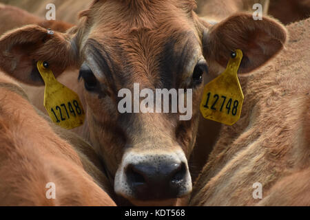 Cow wearing tags in ears and closeup of head while standing between other cows - Stock Photo