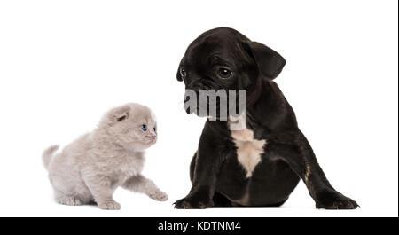 Kitten meets a French bulldog puppy sitting - Stock Photo