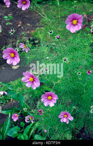 Pink flowers in a Park In Kandy Sri Lanka - Stock Photo