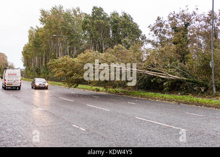 Belfast, UK. 16th Oct, 2017. UK Weather. A fallen tree lies across the Carriage way of Old Golf Course Rd, Dunmurry, - Stock Photo