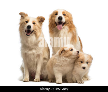 Border collie family, father, mother and puppies, sitting in front of white background - Stock Photo