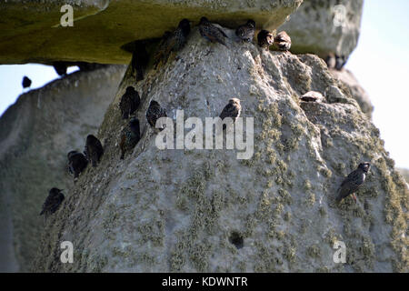Starlings on standing stone, sarsen stone, Stonehenge - Stock Photo