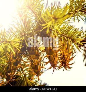 Douglas fir tree branch with cones on autumn. Closeup. - Stock Photo