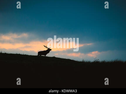 A Red Deer Stag and doe silhouetted against the evening sky in the peak district during autumn rutting season. - Stock Photo