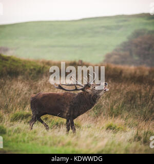 A Red Deer stag during rutting season in the peak district - Stock Photo