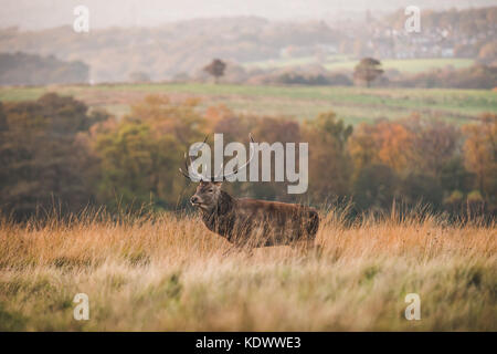 A Red Deer Stag stands on moorland in the Peak District - Stock Photo