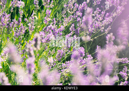 wild lavenders in the field, a sunny day, close up - Stock Photo