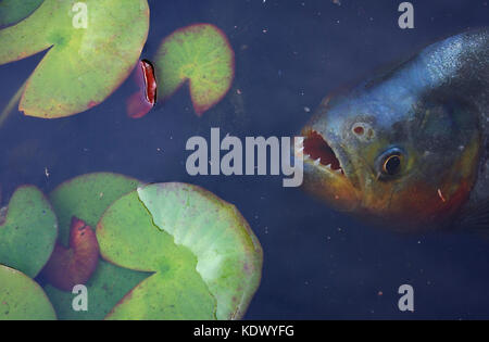 Red-bellied piranha, Pygocentrus nattereri. Waiting for a prey near the surface in the middle of aquatic plants. - Stock Photo