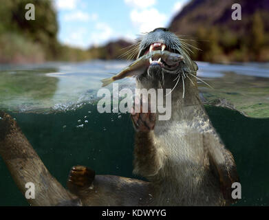 Eurasian otter, Lutra lutra. At the surface eating a freshly caught fish. Otter's diet mainly consists of fish caught - Stock Photo