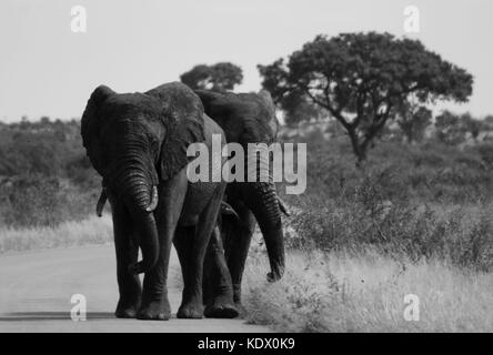 Elephant bulls walking down road, Black and White, Kruger National Park, South Africa - Stock Photo