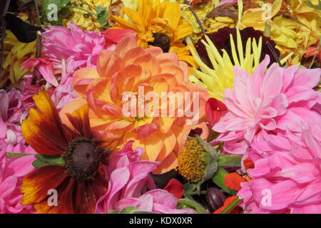 Deadheads of faded dahlia blooms, removed to promote continual flowering - Stock Photo