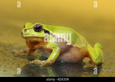full length green tree frog walking on wet glass ( Hyla arborea ) - Stock Photo