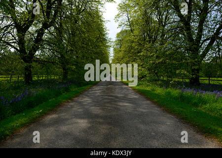 Lime Tree avenue, Tillia, Blarney castle, Bluebells, Spring , Wild Atlantic Way, Arboretum, Garden, gardens, cork, - Stock Photo
