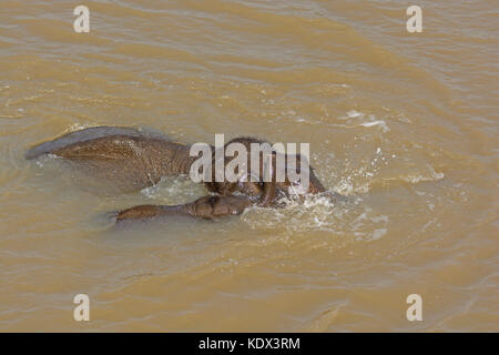 Mother and Baby Elephant Crossing a River in Kaziranga National Park in India - Stock Photo