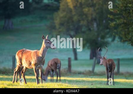 Female Red Deer in Golden Morning Light - Stock Photo