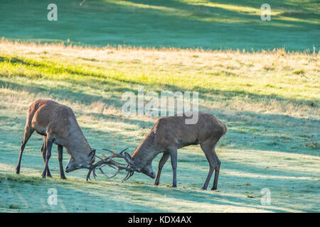 Two Red Stags Rutting - Stock Photo