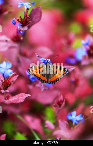 Small tortoiseshell , Aglais urticae on Ceratostigma plumbaginoides in autumn - Stock Photo