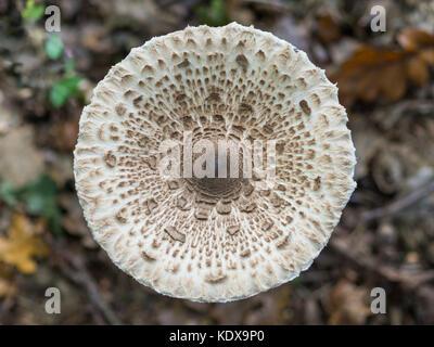Closeup of single edible parasol mushroom or macrolepiota procera growing on forest ground, Berlin, Germany - Stock Photo
