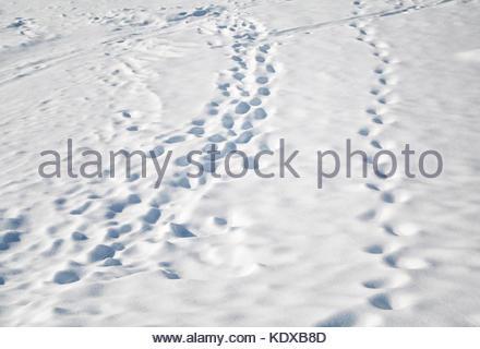 Dog's and human footprints in the fresh deep snow. Snowy winter season countryside scene. - Stock Photo