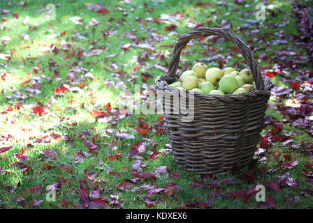 Basket filled with freshly picked Apples - Stock Photo