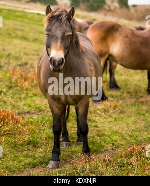 Dartmoor ponies relocated to the South Downs, Beachy Head. - Stock Photo